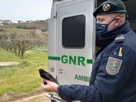 GNR devolveu quatro melros à liberdade na Atouguia da Baleia e autuou morador por cativeiro ilegal