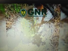 GNR sinalizou descargas ilegais de suiniculturas em afluente da Lagoa de Óbidos
