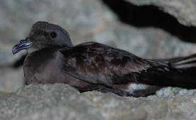 Ave ameaçada de extinção escolhe a ilha da Berlenga para nidificar