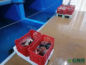 Lourinhã: GNR apreendeu cerca de 9 mil quilos de marisco vivo