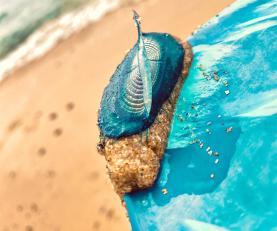 Autoridade Marítima Nacional alerta para os cuidados a ter com Medusas Velella Velella nas praias portuguesas