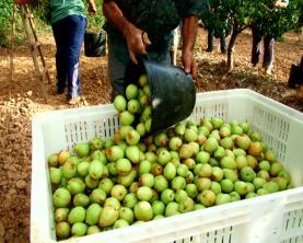 OesteCIM pede ajudas para prejuízos na agricultura da região devido ao calor