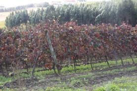 Governo lança em 2021 aviso de 50 milhões de euros para reconversão da vinha